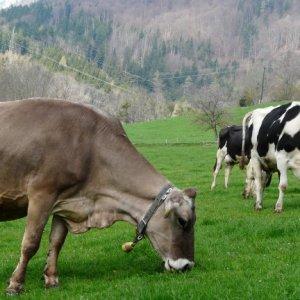 Разведение коров для молока