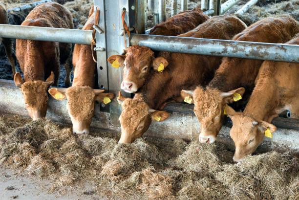 Откорм бычков в стойле