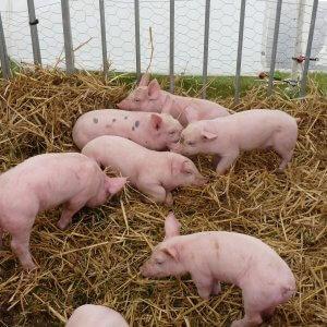 Бизнес-план свиноводства, требования к помещению, выбор породы