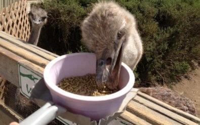 Прикорм для страусов