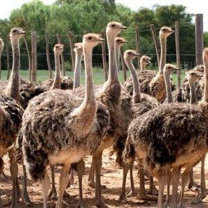 Большая страусиная ферма
