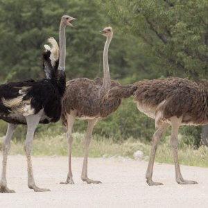 Способы, позволяющие освоить разведение страусов в домашних условиях для начинающих