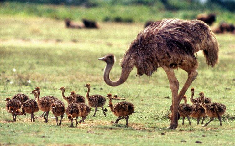 Выгода от страусиного бизнеса
