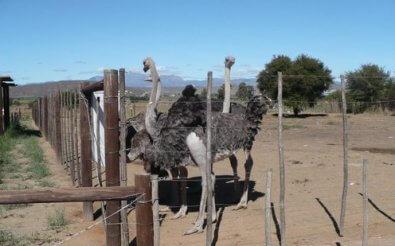 Вольер для страусов