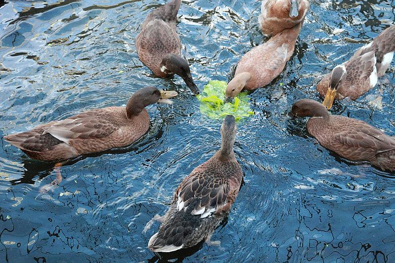 Как правильно ухаживать за утками