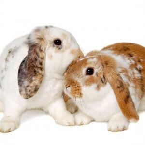 Опыт разведения кроликов