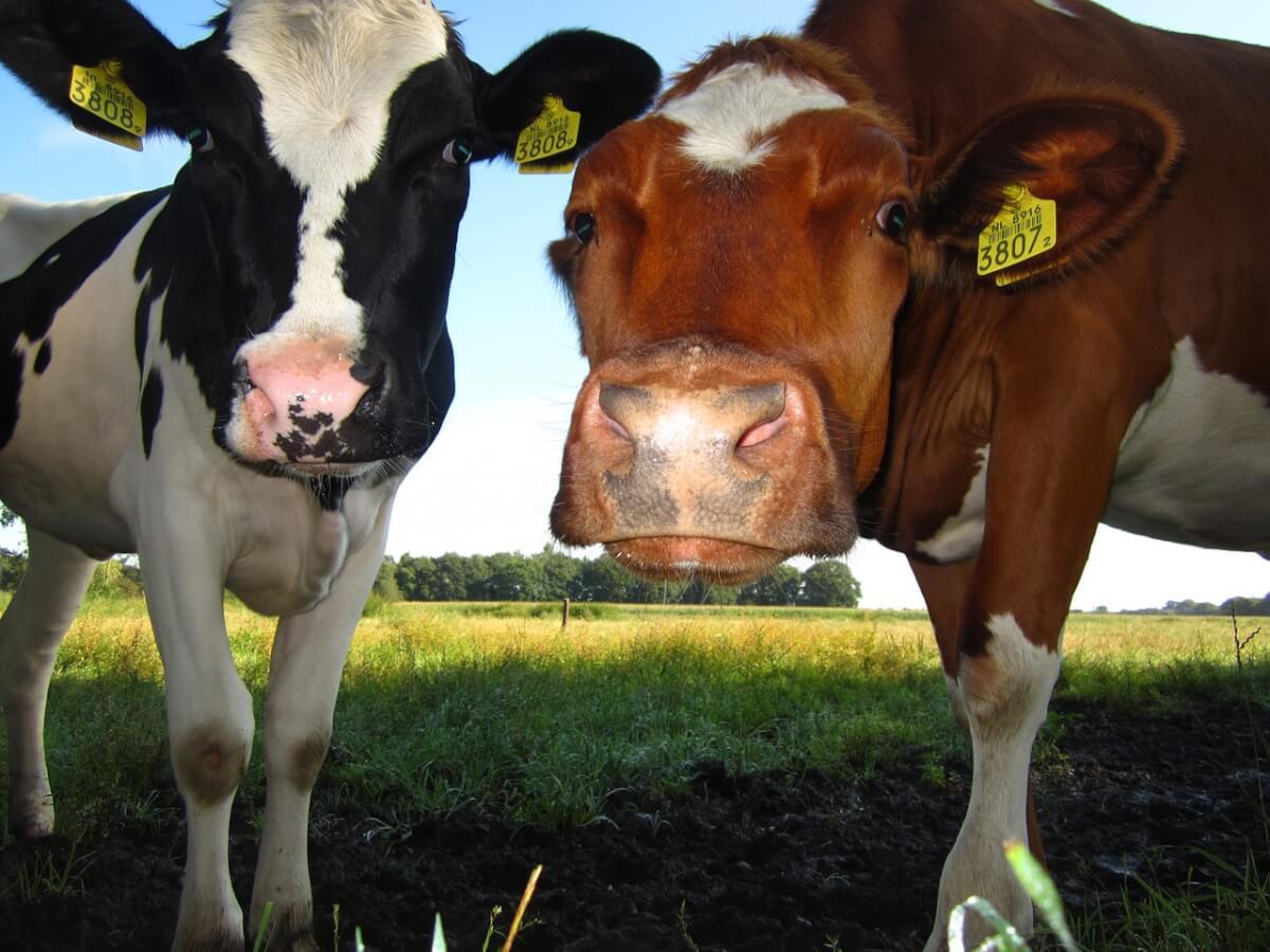 Говядина и молоко всегда будут иметь спрос