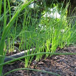 Изображение - Выращивание укропа и петрушки как бизнес Onion-Bianca-di-Maggio-2-300x300
