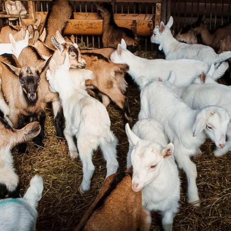 Разведение коз как бизнес: с чего начать, как преуспеть, бизнес-план