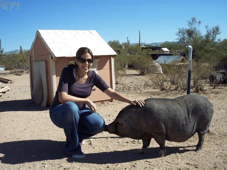 Содержание свиней на улице