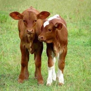Самостоятельный откорм бычков