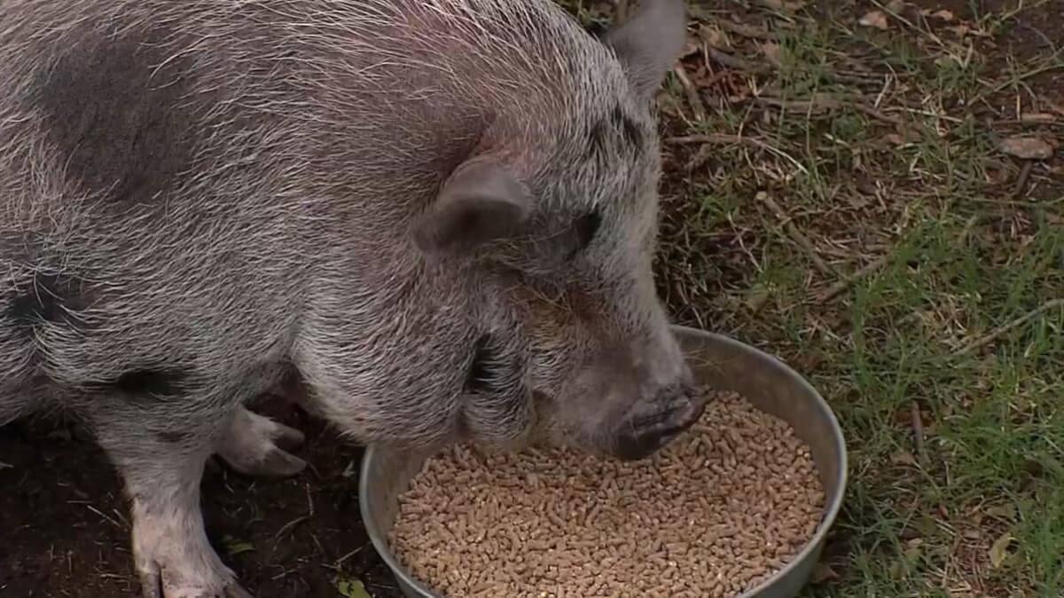 Зерно для свиней