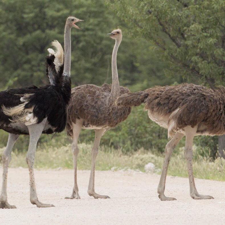 Разведение страусов в домашних условиях от А до Я