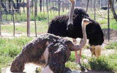 Содержание страусиных семей