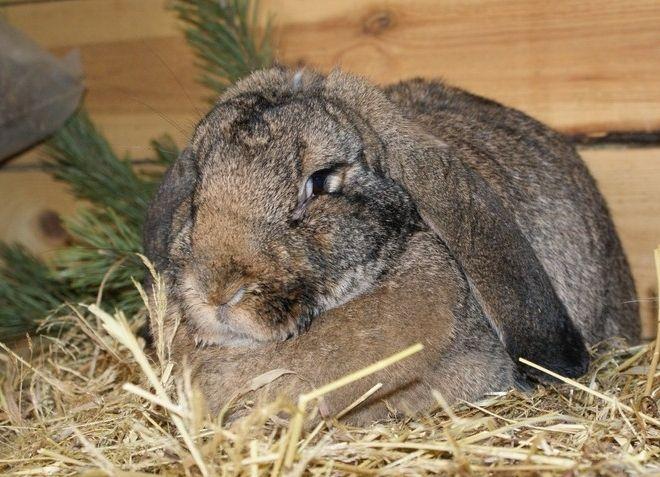 Разведение кроликов-акселератов