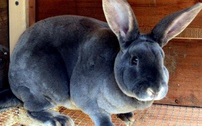 Кролики-переростки