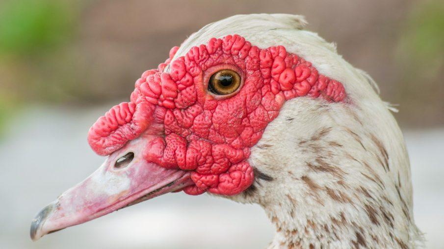 Особенности разведения птицы