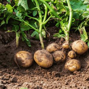 Бизнес-план по выращиванию картофеля - заработок на корнеплоде