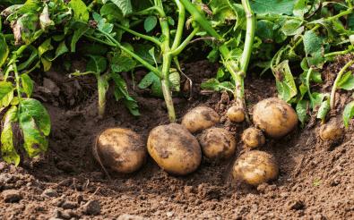 Эффективность выращивания картофеля