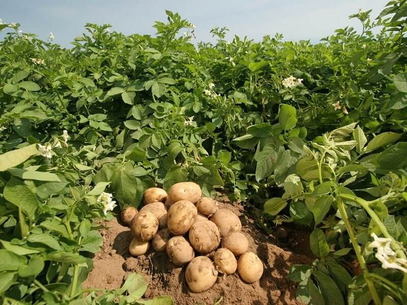 Уход за картофелем