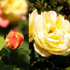 Сорта роз