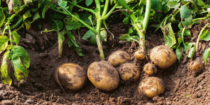 Бизнес-план по выращиванию картофеля – заработок на корнеплоде