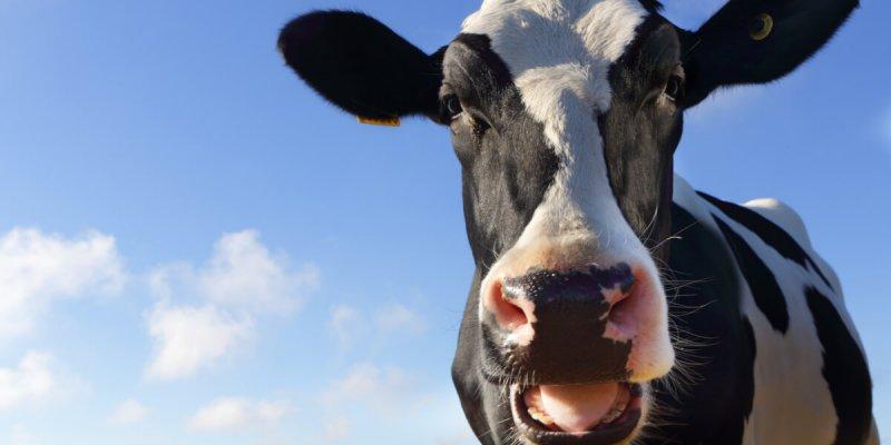 Как разводить коров – способы заработка на домашних животных