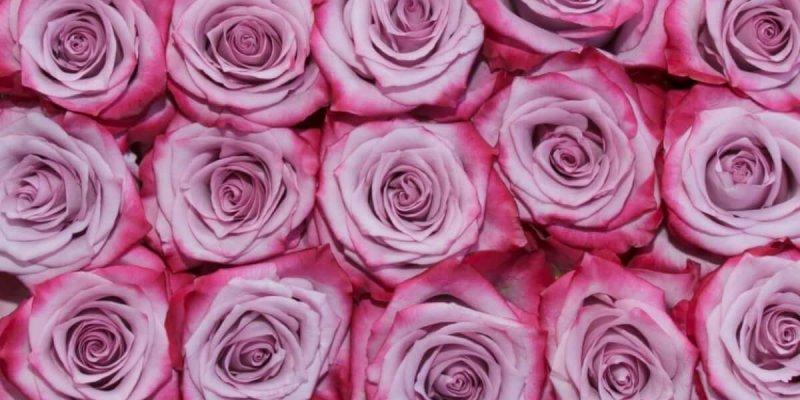 Выращивание роз в домашних условиях – бизнес-проект для заработка